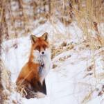 Рыжая лисица